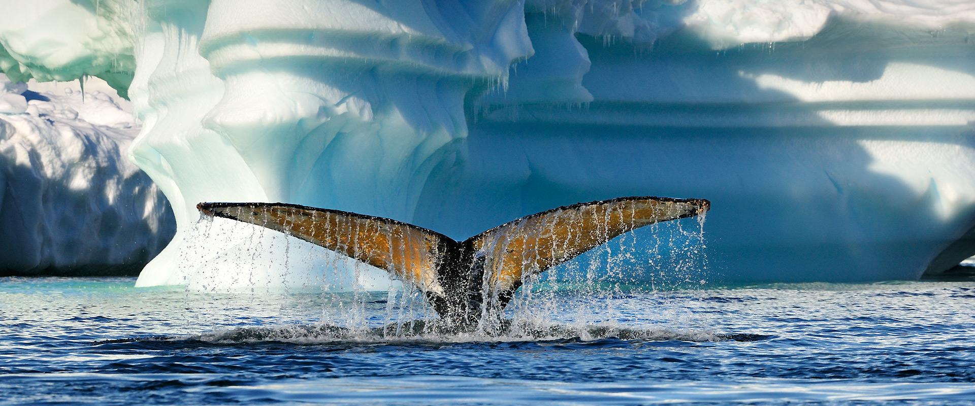 Buckelwal bei Cuverville Island, Antarktische Halbinsel