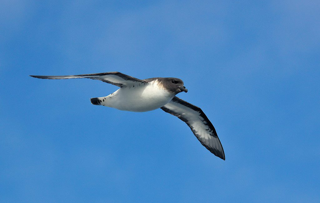 Kapsturmvogel, Cape petrel