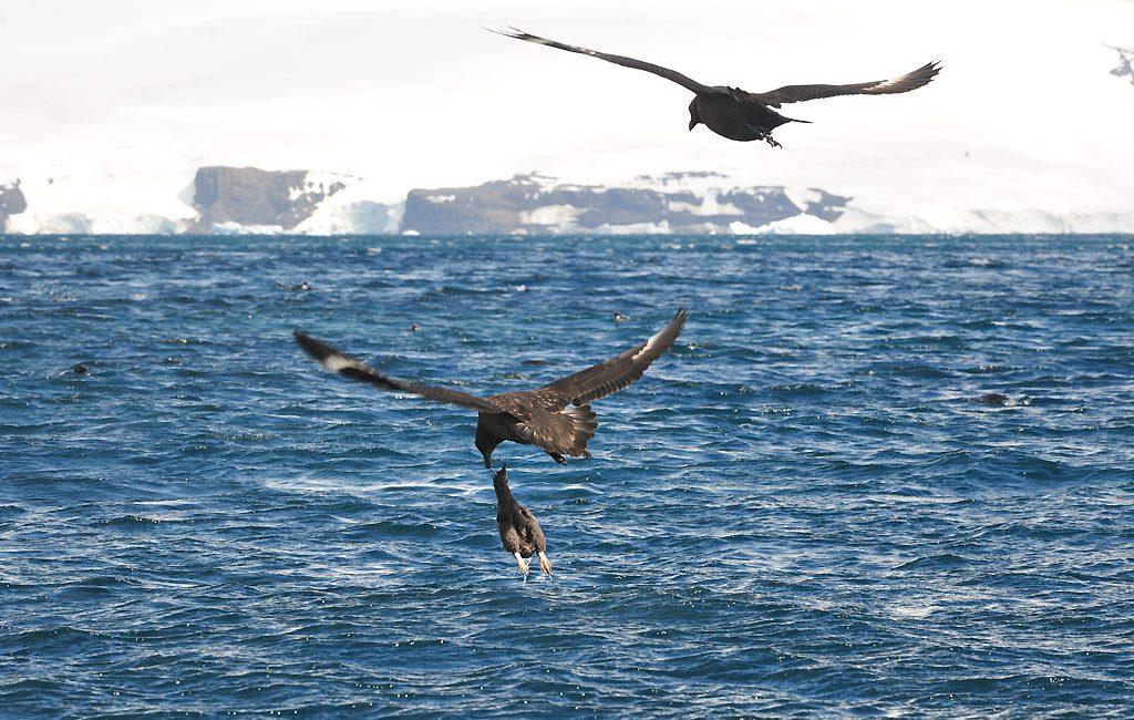 Antarctic Skuas, Paulet Island