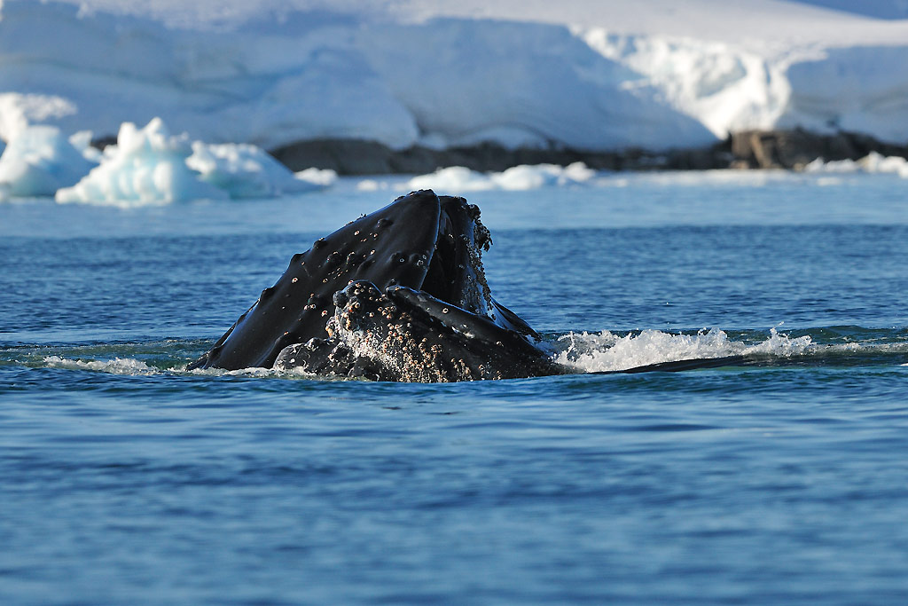 Humpback Whale, Portal Point / Cuverville Island