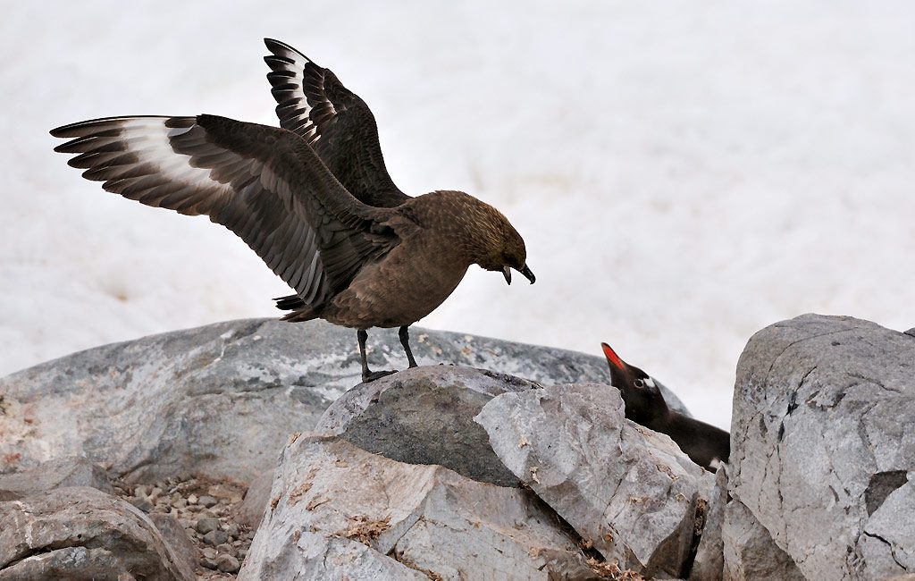 Antarctic Skua, Orne Harbour