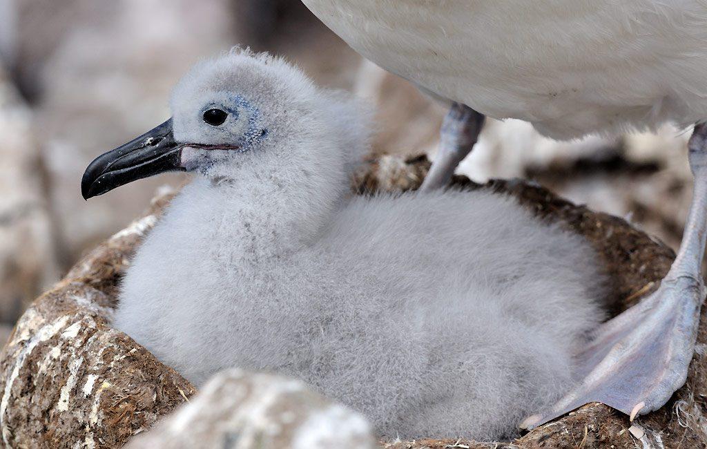 Schwarzbrauenalbatross, Black-browed albatross, Falkland Island