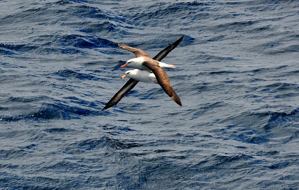Schwarzbrauenalbatross, Black-browed albatross,South Orkney Islands
