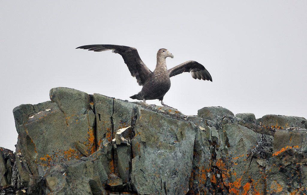 Riesensturmvogel, Giant Petrel, Torgersen Island