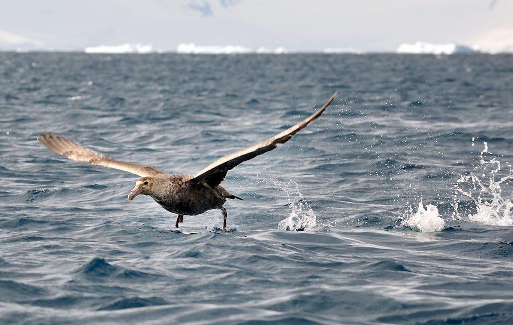 Riesensturmvogel, Giant Petrel, Cuverville Island