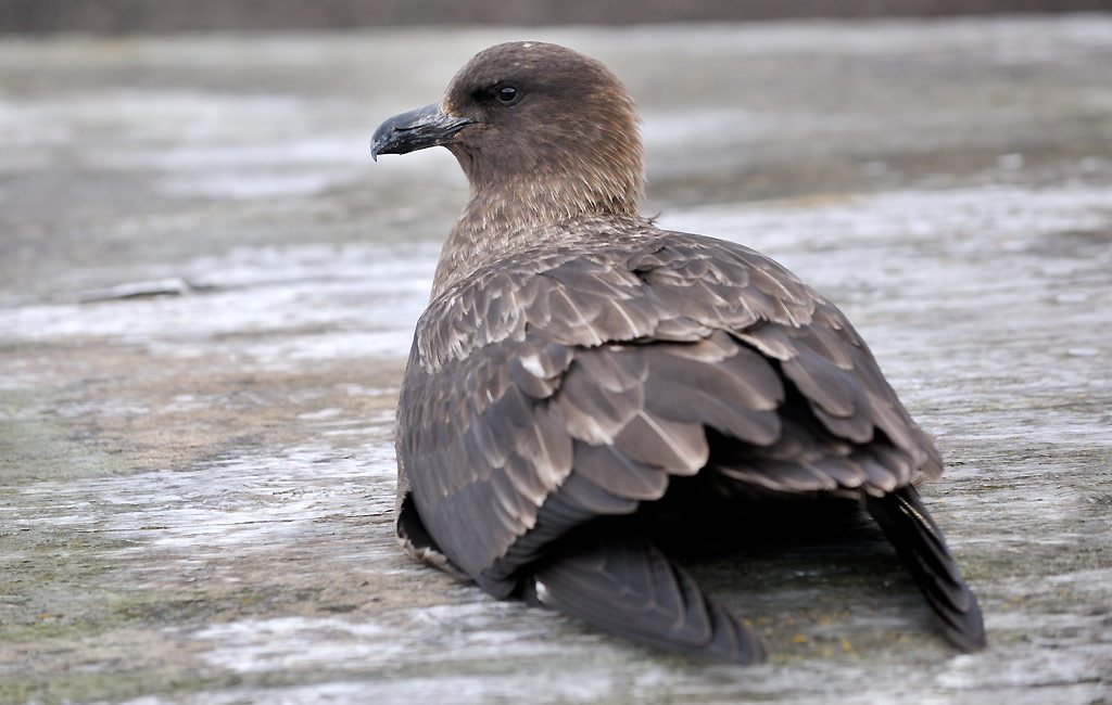 Antarctic Skua, Deception Island